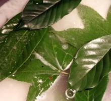 Listje v posodi z vodo in sodo